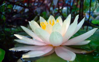 An Open Heart is a Lotus Blossom